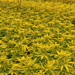 Planning Board holds pot bylaw hearing