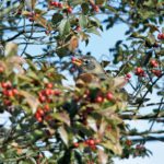 The Great Annual Holly Tree Feed